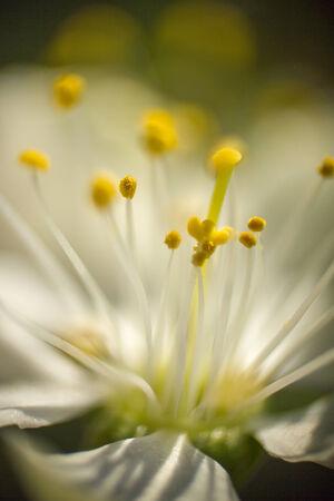 pistil: Flower pistil  Stock Photo
