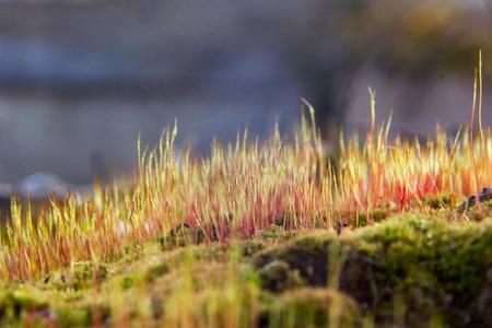 esporas: Primer plano de un musgo colorido con las esporas. Verde divertido. Foto de archivo
