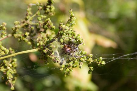 nursery web spider: Spider sitting in its nest in ambush.