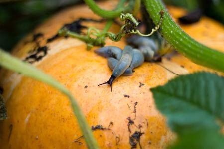 slug: Slug se arrastra en una calabaza naranja madura. Foto de archivo