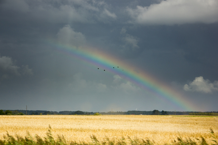 Rainbow in a golden wheat field with dramatic clauds. Stock Photo