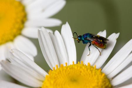 Close photo of  cuckoo wasps or emerald wasps on camilla.