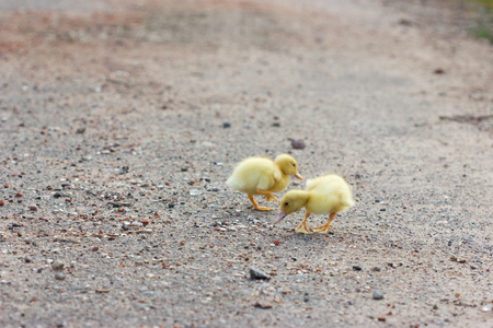 Two little, yellow duckling walking on the road