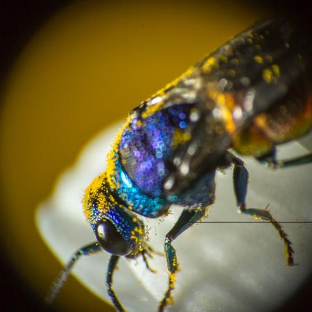 Close photo of  cuckoo wasps or emerald wasps on chamomile.