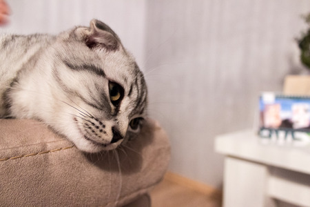 attentiveness: Scottish Fold cat leaning on a couch, looking in the distance Stock Photo