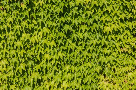 background of ivy leaves photo