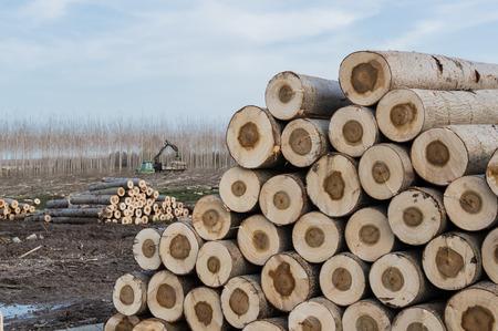 poplars: Cutting of poplars, crane log and woodpiles