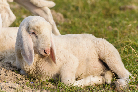 bleating: portrait of lamb that is lying in the meadow