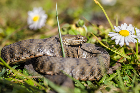 toxicity: Viper is in the meadow with daisy Stock Photo