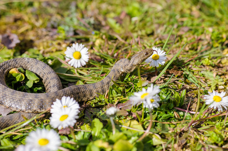 viper: Viper is in the meadow with daisy Stock Photo
