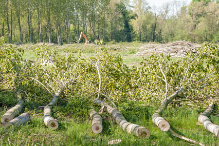 Poplars cut on the ground in front of lush poplars