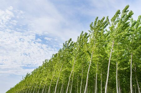 poplars: Planting of poplars for the production of cellulose