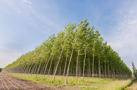 celulosa: La plantación de álamos para la producción de celulosa