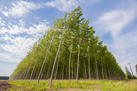 and cellulose: Planting of poplars for the production of cellulose