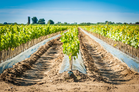 rooted: Field of rooted grafts of vine