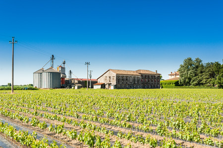 rooted: Field of rooted grafts of vine. In the background an old farm with silos