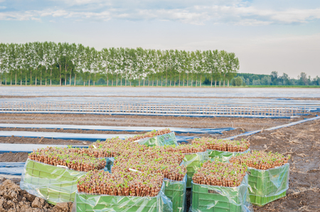 transplanted: The VCR grafts vine ready to be transplanted in the field