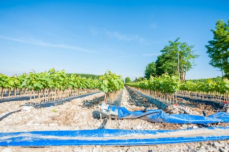 rooted: Field of rooted grafts of vine and the irrigation system buried tube