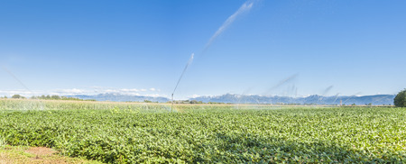 sprinklers: Soybean field irrigated with sprinklers, in the background the Alps