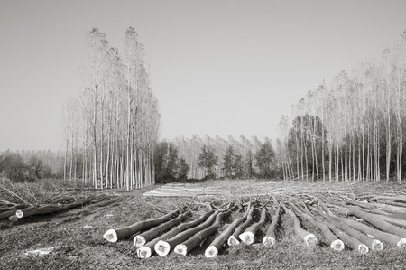 bn: Cutting a forest of poplars: poplars file cut and cranes to move them.  In black and white