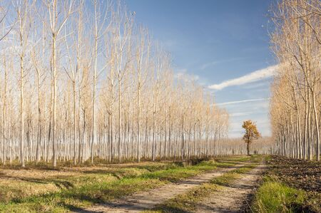 flanked: Autumn country road flanked by rows of poplars.