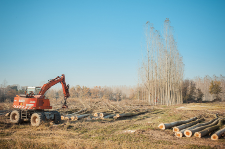 cut: Cutting a forest of poplars: poplars file cut and cranes to move them.