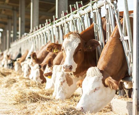 Many cows eating hay on feeding trough. 免版税图像