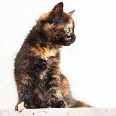 European young cat. Tortoiseshell or calico cat Stock Photo