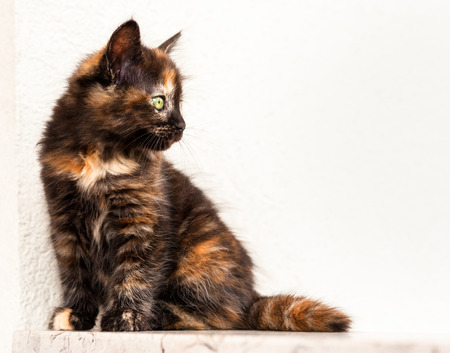 calico whiskers: European young. cat. Tortoiseshell or calico cat