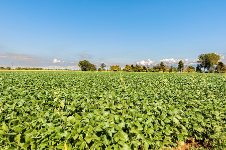 Countryside landscape. Field of soy again blue sky. Rural view.