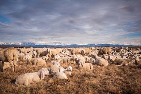 Flock of sheep with lambs. They grazed in winter day. In the background the mountains and the sky with clouds.