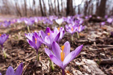 View of blooming spring flowers crocus growing in wildlife. Purple crocus growing