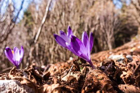 View of blooming spring flowers crocus growing in wildlife. Purple crocus growing. Standard-Bild