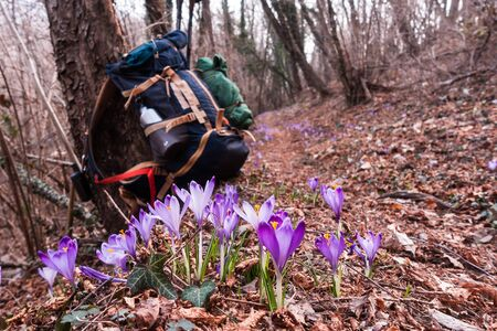 View of blooming spring flowers crocus growing in wildlife. In background blurred, hiker backpack.