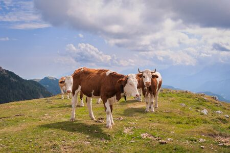 Cows in Seiser Alm, the largest high altitude Alpine meadow in Europe, stunning rocky mountains on the background. Standard-Bild