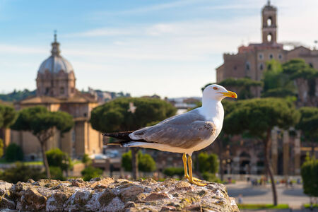 Beautiful seagull against the backdrop of the Roman Forum in Rome, Italy photo