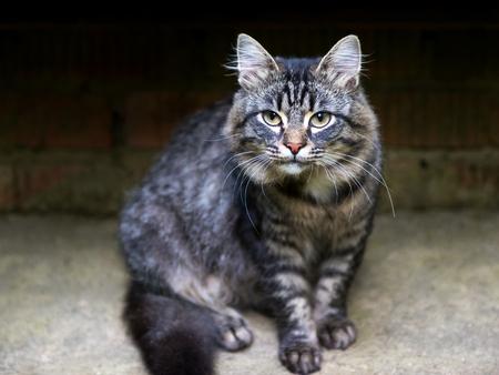 tough: Tough cat stares ready for action