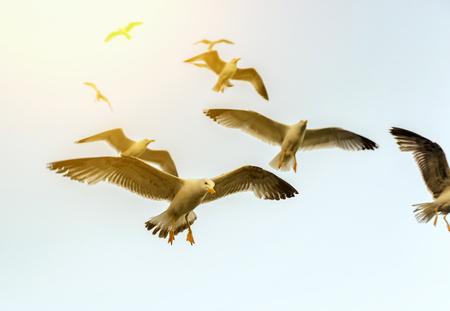 sunlight sky: Sea Gull in the sky in the sunlight