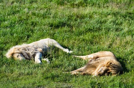 Two lions, ordinary and white, lying on the grass in safari park