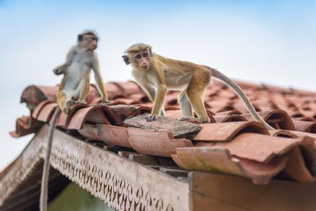 Monkeys are on the ancient Buddhist rock temple in Mulkirigala, Sri Lanka
