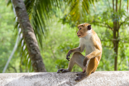 The monkey is in the ancient Buddhist rock temple in Mulkirigala, Sri Lanka Banque d'images