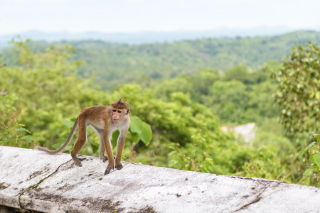 The monkey runs along the wall of the ancient Buddhist rock temple in Mulkirigala, Sri Lanka Banque d'images