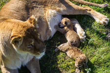 Lioness feeds its cubs in safari park. Top view of lying lioness with her tiny lion cubs in the wildlife.