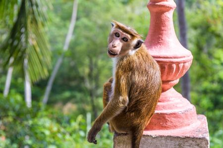 The monkey is in the ancient Buddhist rock temple in Mulkirigala, Sri Lanka. Tropical nature and landscape of Sri Lanka. Animals in Buddhist places. Travel destinations in Sri Lanka.