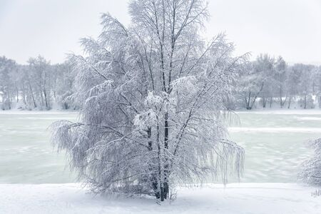 Winter landscape, Russia. Lone tree covered fresh snow. Scenery of beach after snowfall. Scenic view to frozen river in forest or park. Nice snowy nature on frosty day. Season weather concept.
