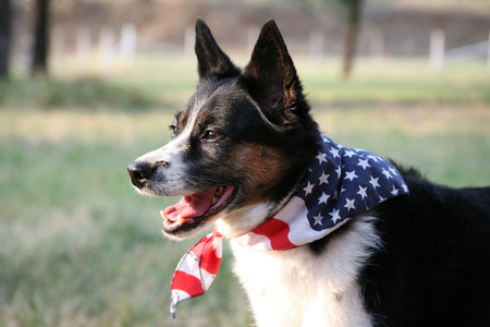 American Pride - Dog with Flag Bandana Stock Photo