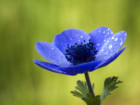 Blue Anemone Flower with room for ad copy photo