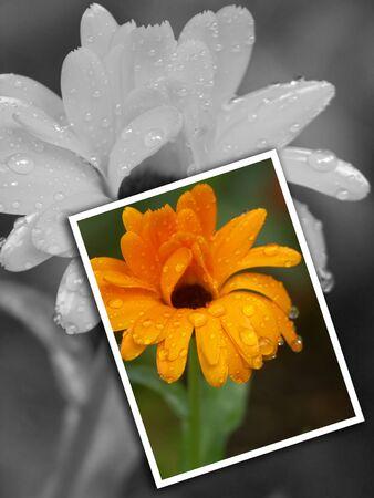 snapshot: Flower Photo Photographer Snapshot Color and B&W Illustration Stock Photo