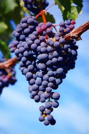 Merlot Grapes on Vine in Vineyard Against Bright Blue Sky