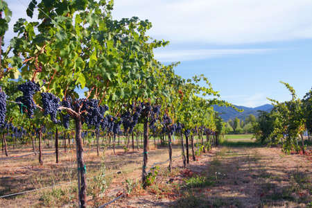 Merlot Grapes on Vine in Vineyard